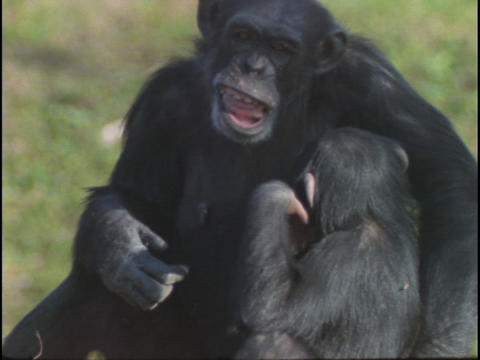 A chimpanzee holds its baby Footage