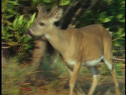 A buck, in velvet, walks through a forest in Florida's Everglades National Park Footage