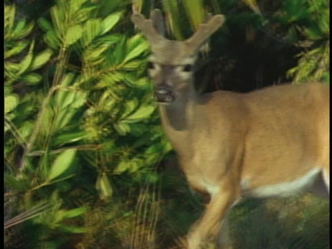 A buck, in velvet, walks through a forest in Florida's... Stock Video Footage