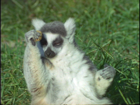 A ring-tailed lemur lays on its back and eats Stock Video Footage