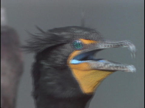 A cormorant surveys its surroundings in Florida's Everglades National Park Footage