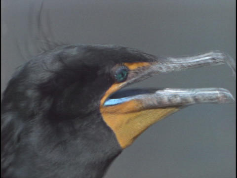 A cormorant surveys its surroundings in Florida's... Stock Video Footage