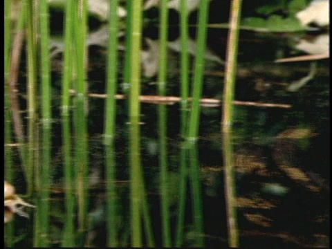 A bull frog floats in a rainforest pond Stock Video Footage