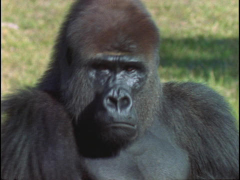 A gorilla surveys its surroundings and then stares at the... Stock Video Footage