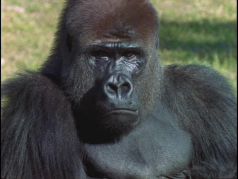 A gorilla surveys its surroundings and then stares at the camera Footage