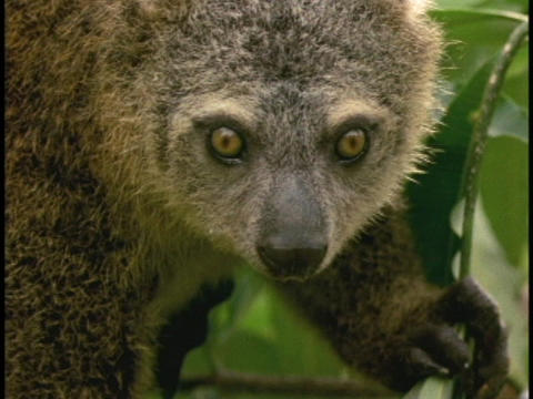 A Bear Cuscus stares at the camera in Borneo, Indonesia Live Action