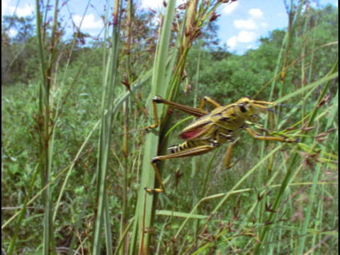 A lubber grasshopper crawls over stalks of grass Stock Video Footage