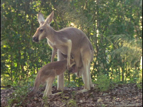 A kangaroo investigates its mother's pouch in the Australian outback Footage