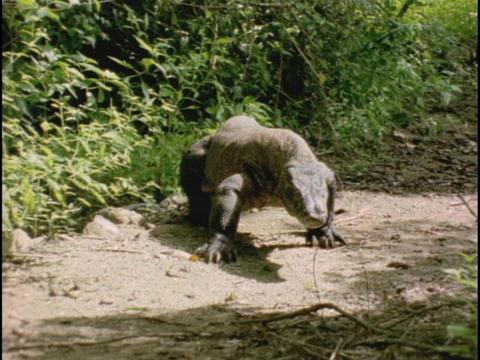 A Komodo dragon walks over a sandy path Stock Video Footage