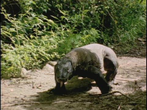 A Komodo dragon walks over a sandy path Footage
