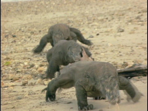 Komodo dragons walk across a beach Stock Video Footage