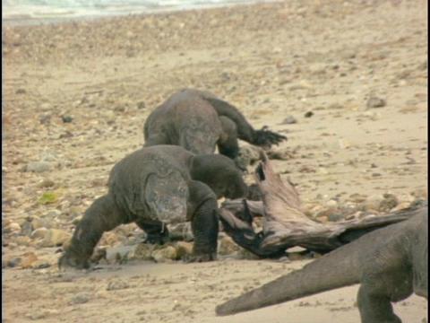 Komodo dragons walk across a beach Footage