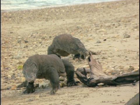 Komodo dragons walk across a beach Stock Video Footage
