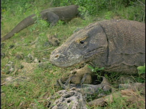 A Komodo dragon flicks its tongue in and out Stock Video Footage