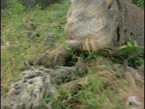 A Komodo dragon flicks its tongue in and out Footage