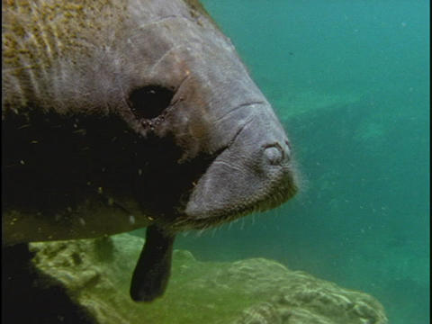 A manatee swims along the ocean floor in Florida Stock Video Footage