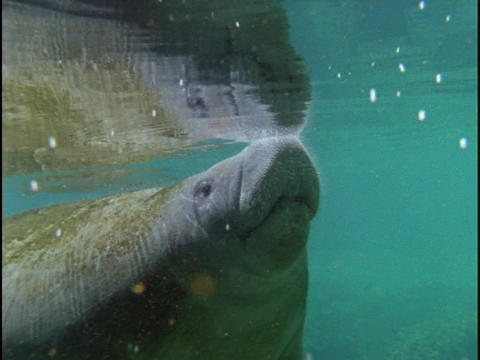 A manatee floats through the ocean water Stock Video Footage