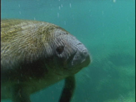 A manatee floats through the ocean water Footage