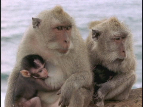 Macaque monkeys nurse their babies in Bali Stock Video Footage
