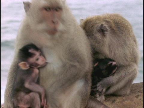 Macaque monkeys nurse their babies in Bali Stock Video Footage