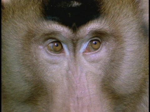 A macaque surveys its surroundings Stock Video Footage