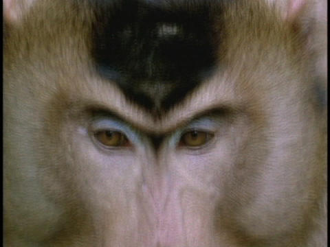 A macaque surveys its surroundings Footage