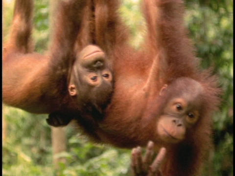 An orangutan and its baby hang upside down in Sabah, Borneo Stock Video Footage