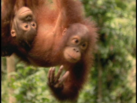An orangutan and its baby hang upside down in Sabah, Borneo Footage
