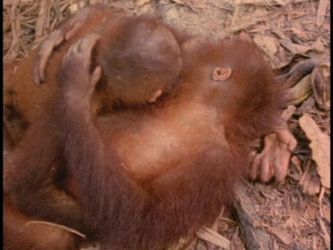 An orangutan and its baby cuddle on the forest floor in Sabah, Borneo Footage