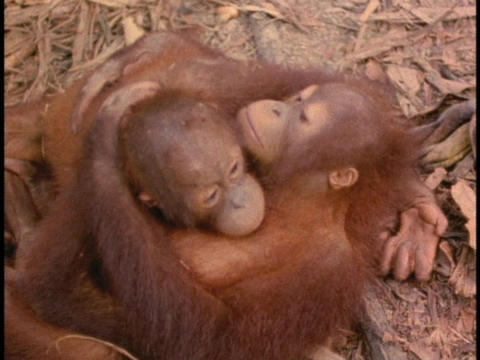 An orangutan and its baby cuddle on the forest floor in... Stock Video Footage