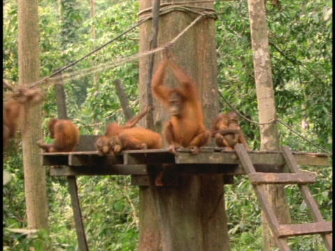 Orangutans rest and play at a rehabilitation center in Sabah, Borneo Footage