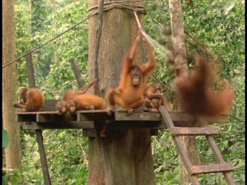 Orangutans rest and play at a rehabilitation center in... Stock Video Footage
