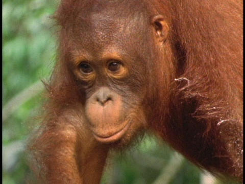 An orangutan puckers its lips Stock Video Footage