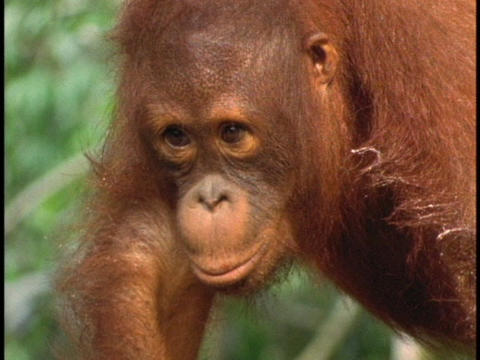 An orangutan puckers its lips Live Action