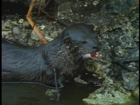 An otter eats a fish head Live Action