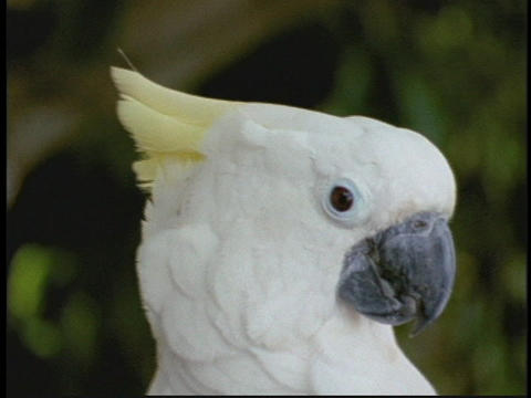 A sulfur crested cockatoo fluffs his head feathers Stock Video Footage