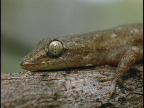 A salamander lays on a log Footage