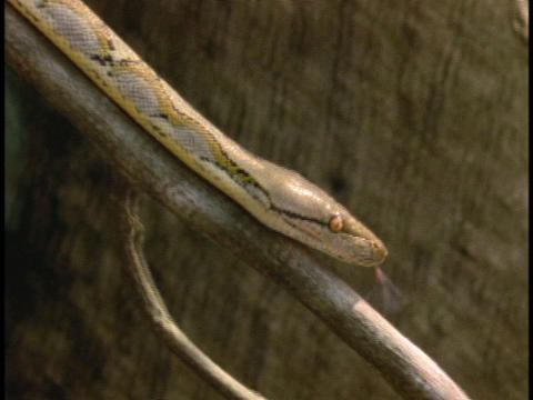 A python slithers across a tree branch Stock Video Footage