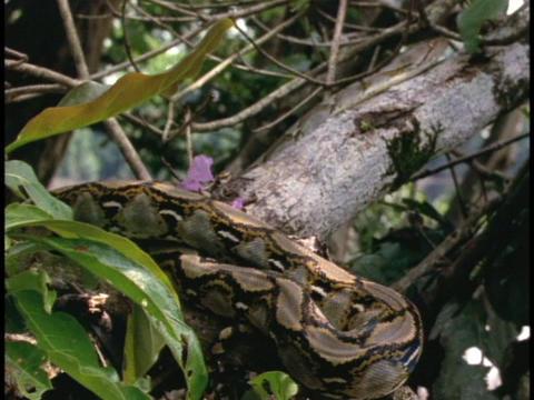 A python slithers up a jungle branch Stock Video Footage