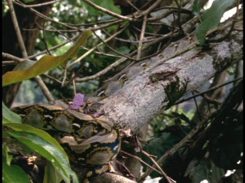 A python slithers up a jungle branch Stock Video Footage