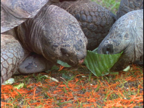 Tortoises munch on leaves Stock Video Footage