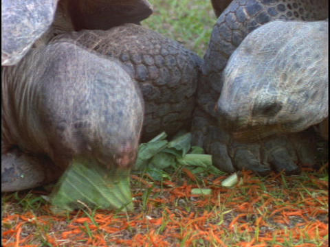 Tortoises munch on leaves Footage