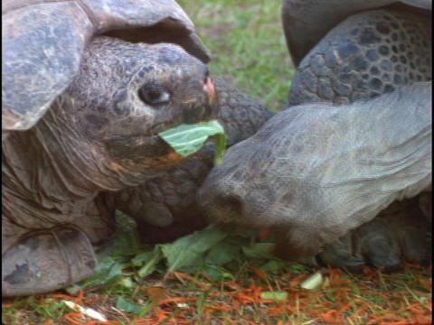Tortoises munch on leaves Stock Video Footage