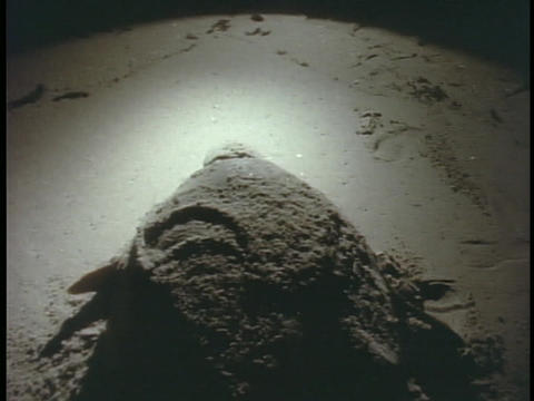 A softshell turtle crawls along the beach Stock Video Footage