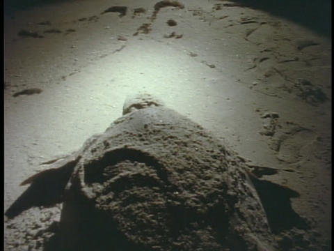 A softshell turtle crawls along the beach Footage