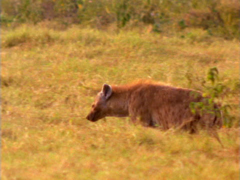 A hyena prowls through African brush Footage