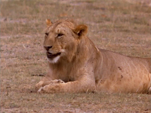 A lioness licks her paws in Kenya, Africa Stock Video Footage