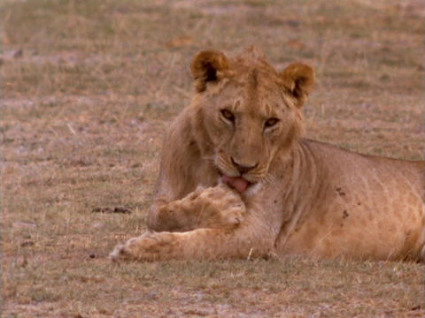 A lioness licks her paws in Kenya, Africa Live Action