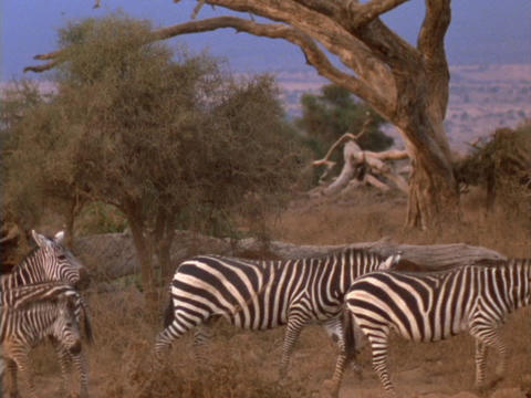 Zebras walk across the African savanna Stock Video Footage