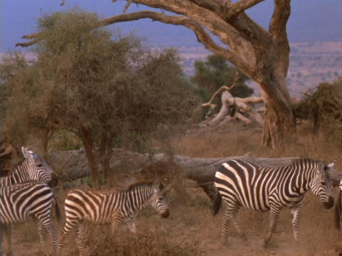 Zebras walk across the African savanna Stock Video Footage